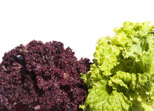Green and violet lettuce Stock Images