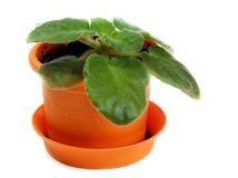 Green violet in orange pot Royalty Free Stock Photo
