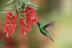 Green violetear, Colibri thalassinus, hovering next to red flower in garden, bird from mountain tropical forest, Costa Ri. Green violetear, Colibri thalassinus royalty free stock photo
