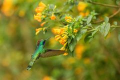Green violetear, Colibri thalassinus, hovering next to yellow flower in garden, bird from mountain tropical forest,Mexico, natural. Habitat, beautiful royalty free stock photography