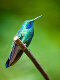 The Green Violetear (Colibri thalassinus) perched on a branch Royalty Free Stock Photo
