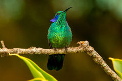 Green Violetear display. Green Violetear ear display, Ecuador stock images