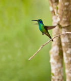 Green Violetear in flight Royalty Free Stock Photo