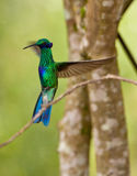 Green Violetear in flight Stock Photo