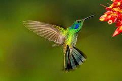 Green Violetear hovering. In front of flowers,  Ecuador Stock Photography