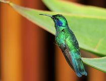 Green Violetear, hummingbird, Colibri thalassinus. In Costa Rica, Central America royalty free stock images