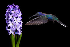 Green Violetear Hummingbird Flying over Black Background Royalty Free Stock Photography