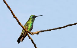 Green Violetear Hummingbird Stock Photos