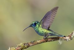 Green Violetear Hummingbird perched on branch in Costa Rica Royalty Free Stock Image