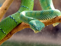 Green Viper. On a branch of a tree Royalty Free Stock Photography