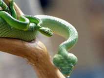 Green Viper. On a branch of a tree Stock Photos