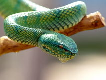 Green Viper. On a branch of a tree Royalty Free Stock Photo