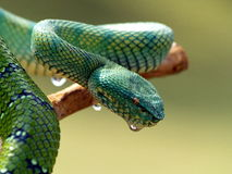 Green Viper. On a branch of a tree Royalty Free Stock Image