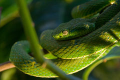 Green viper Stock Image