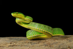 Green viper crawling on wood Stock Photography