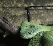GREEN VIPER Royalty Free Stock Images