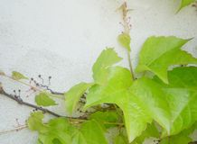 Green Virginia Creeper or five-leaved ivy climbing on a plater wall Royalty Free Stock Photos