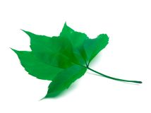 Green virginia creeper leaf Stock Images