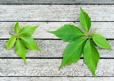 Green virginia creeper leaves on wood background Royalty Free Stock Photos