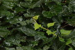 Green vitality. Green hedera leaves after rain Stock Images