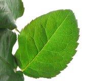 Green vivid leaf details on white Stock Image
