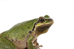 Green vTree Frog Stock Image