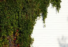 Green wall. Wall covered by green creeper Royalty Free Stock Photos