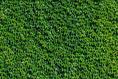 Free Green Wall Royalty Free Stock Photography - 15113667