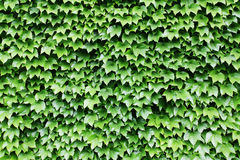 Green wall Royalty Free Stock Image