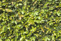 Green wall. Wall covered with climbing fig vine stock photos
