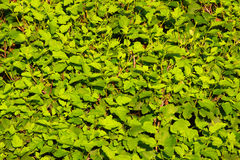 Green wall. Textured green wall in the sun Stock Photos