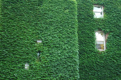 Green wall. Wall of the building, covered by leaves with widnows Royalty Free Stock Photography