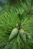 Green wall. New pine cones on Southern Pine royalty free stock photography