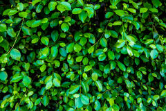 Green wall background. Green leaf shrubbery wall background in the village Stock Photos