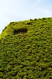 Green wall. Beautiful green wall in central London Stock Photography