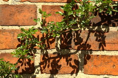 Green on the wall. Climbing rose on the wall of the old house royalty free stock image