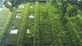 Green wall - creepers are so strong stock image