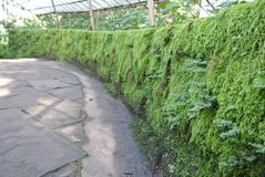 The green wall. Full of moss and firn Royalty Free Stock Photo