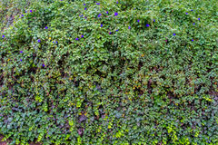 Green wall grass. A wall full of green grass and some flowers Stock Images