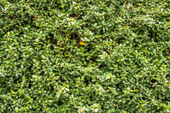 Green wall with ivy background Stock Images