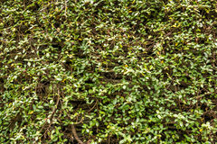 Green wall with ivy background Royalty Free Stock Image