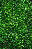 Green wall of Ivy leaves Royalty Free Stock Image