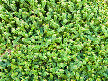 Green wall of Ivy leaves Stock Photos