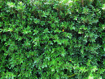 Green wall. Wall of leaf green Stock Image
