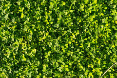Green wall leave. It natural Texture of earth. Green wall leave. It natural Texture stock image
