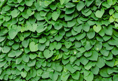 Green wall of leaves Royalty Free Stock Photography