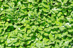 Green wall. Living green wall in the bright sun Stock Image