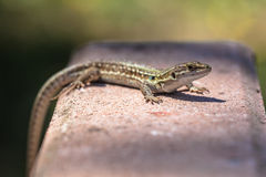 Green Wall Lizard Royalty Free Stock Photo
