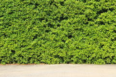 The green wall Royalty Free Stock Photos
