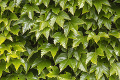 Green wall pattern of parthenocissus tricuspidata Royalty Free Stock Image
